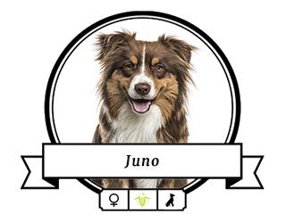 Australian Shepherd Juno