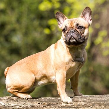 Französische Bulldogge Ernährung