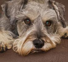 Herzerkrankungen beim Hund