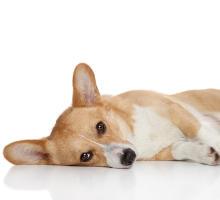 Krampfanfälle bei Hunden