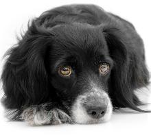 Lebererkrankungen beim Hund