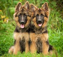 OCD bei Hunden