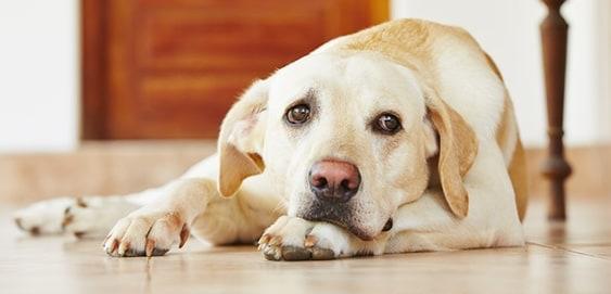 Hund mit Megaösophagus