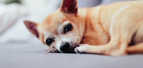 Hund liegt