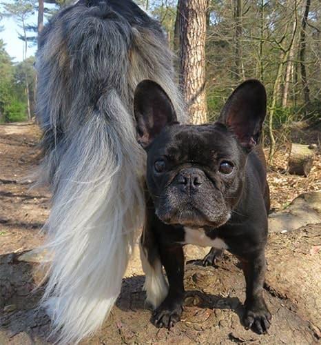 Bulldogge Frodo und Matze