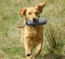 Apportierender Hund