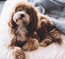 Hund auf Bett