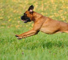 Hund jagt Ball