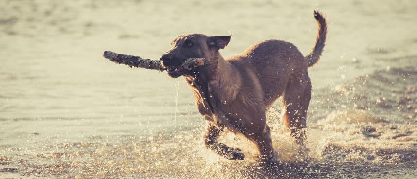 Hund mit Stock am Wasser