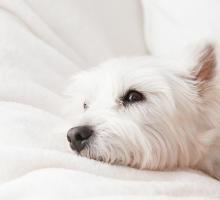 Hund auf Decke