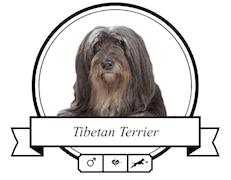 Tibet Terrier Krankheiten