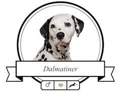 Dalmatiner Portrait