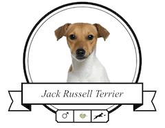 Jack Russell Terrier Rassenmerkmale