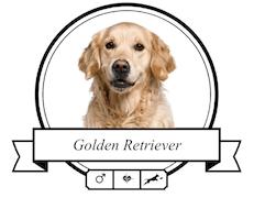 Rasse Golden Retriever