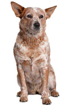 Rasseportrait Australian Cattle Dog