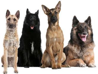 Belgischer Schäferhund Charakter