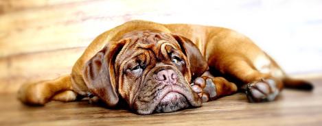 Bordeaux Dogge Rassenportrait
