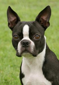 Boston Terrier Profil