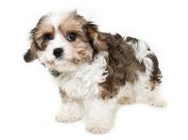 Hybridhund Cavachon