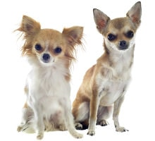 Jeder Chihuahua braucht individuelles Futter