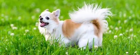 Chihuahua in Wiese