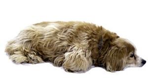 Cockapoo Designerhund