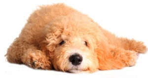 Goldendoodle Designerhund