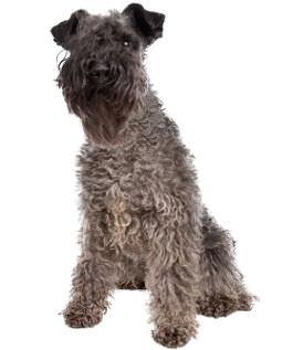 Rasseportrait Kerry Blue Terrier