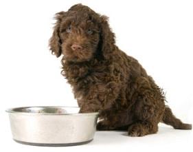 Labradoodle Designhund