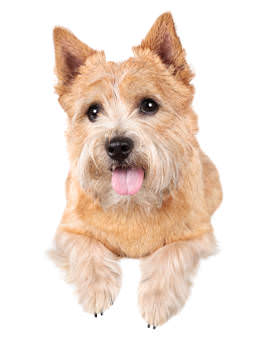 Norwich Terrier Rassenfutter