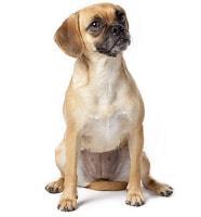 Puggle Hybridhund