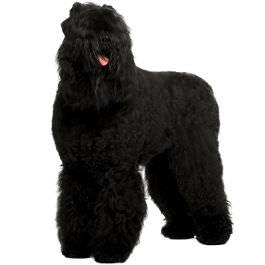 Russischer Schwarzer Terrier Wesen