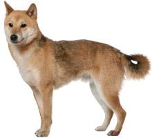 Shiba Inu Wesen