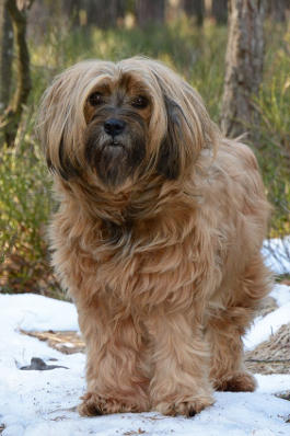 Rassemerkmale Tibet Terrier