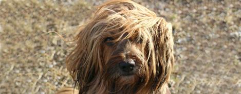 Rasseportrait Tibet Terrier