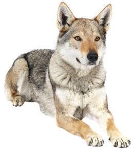 tschechoslowakischer-wolfshund-charakter-wesen