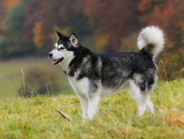 Energiebedarf eines Hundes - Husky