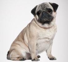 Futter für übergewichtige Hunde