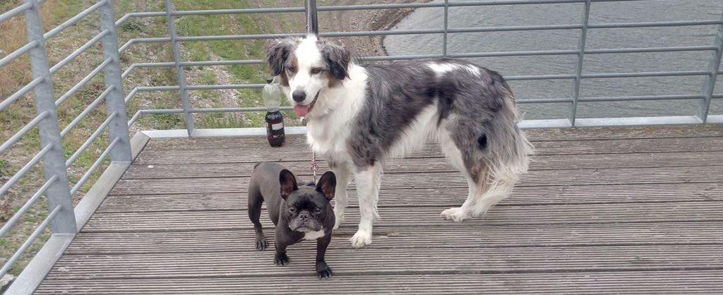 Bulldogge Frodo und Assistenzhund Matze
