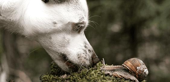 Hund frisst Schnecken: Achtung Lungenwurm
